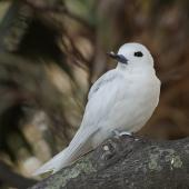 White tern. Adult roosting. Lord Howe Island, April 2019. Image © Glenn Pure 2019 birdlifephotography.org.au by Glenn Pure