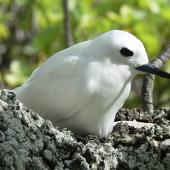 White tern. Adult incubating. Ducie Atoll, October 2014. Image © Tony Crocker by Tony Crocker