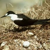 Sooty tern. Adult on nest with egg. Curtis Island, November 1989. Image © Graeme Taylor by Graeme Taylor
