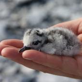 Sooty tern. Chick in hand. Rawaki, Phoenix Islands, May 2008. Image © Mike Thorsen by Mike Thorsen