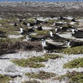 Sooty tern. Colony. Rawaki, Phoenix Islands, May 2008. Image © Mike Thorsen by Mike Thorsen