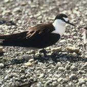 Sooty tern. Adult and chick. Denham Bay, Raoul Island, Kermadec Islands, January 1967. Image © Department of Conservation (image ref: 10043410) by Dick Veitch, Department of Conservation Courtesy of Department of Conservation