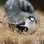 Sooty tern. Adult on nest. Raoul Island, Kermadec Islands. Image © Gareth Rapley by Gareth Rapley