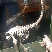 Eastern moa. Fossil skeleton mounted in Southland Museum. Wakapatu, Southland. Image © Alan Tennyson & the Southland Museum by Alan Tennyson