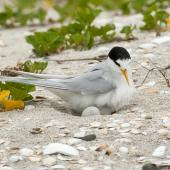 Fairy tern. Adult on nest. Waipu estuary, Northland, November 2012. Image © Malcolm Pullman by Malcolm Pullman www.pullmanpix.kiwi.nz