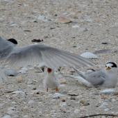 Fairy tern. Adult arriving to feed 11-day-old chick. Waipu Cove, January 2017. Image © Susan Steedman by Susan Steedman