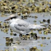 Fairy tern. Recently fledged juvenile. Waipu estuary, January 2014. Image © Duncan Watson by Duncan Watson