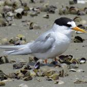 Fairy tern. Adult roosting. Waipu Wildlife Refuge, November 2016. Image © Scott Brooks (ourspot) by Scott Brooks