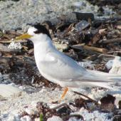 Fairy tern. Adult of New Caledonian subspecies, in breeding plumage. Tiam Bouene, New Caledonia, July 2011. Image © David Wilson by David Wilson