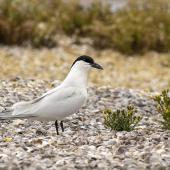 Gull-billed tern. Adult pair in breeding plumage (pointer indicates nest). Awarua Bay, December 2019. Image © Glenda Rees by Glenda Rees Glenda Rees https://www.flickr.com/photos/nzsamphotofanatic/ https://www.facebook.com/NZBANP/