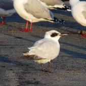 Gull-billed tern. Juvenile with red-billed gulls. Waikanae River estuary, July 2011. Image © Alan Tennyson by Alan Tennyson