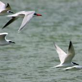 Gull-billed tern. Five non-breeding adults flying with a Caspian tern. Manawatu River estuary, November 2011. Image © Alex Scott by Alex Scott