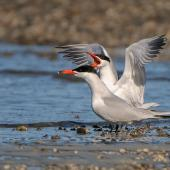 Caspian tern. Adult pair, one displaying. , October 2009. Image © Tony Whitehead by Tony Whitehead www.wildlight.co.nz