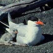 Caspian tern. Adult and chick at nest. Onoke Spit, Palliser Bay, November 1979. Image © Department of Conservation (image ref: 10033855) by Rod Morris, Department of Conservation Courtesy of Department of Conservation