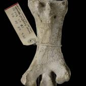 Stout-legged moa. Holotype of Euryapteryx pygmaeus (synonym). Specimen registration no. S.024322; image no. MA_I064688. Takaka. Image © Te Papa See Te Papa website: http://collections.tepapa.govt.nz/objectdetails.aspx?irn=259976&term=S.024322