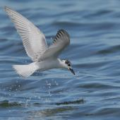 White-winged black tern. Non-breeding adult foraging. Western Treatment Plant, Victoria, March 2017. Image © Glenn Pure 2017 birdlifephotography.org.au by Glenn Pure