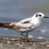 White-winged black tern. Immature. Manawatu River estuary, February 2013. Image © Ormond Torr by Ormond Torr