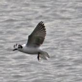 White-winged black tern. Non-breeding adult flying. Nelson sewage ponds, July 2015. Image © Rebecca Bowater by Rebecca Bowater FPSNZ AFIAP www.floraandfauna.co.nz