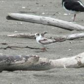 White-winged black tern. Immature. Manawatu River estuary, December 2012. Image © Alan Tennyson by Alan Tennyson