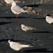 White-winged black tern. Adult in non-breeding plumage, with red-billed gulls and white-fronted terns. Waikanae River estuary, March 1994. Image © Alan Tennyson by Alan Tennyson