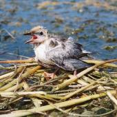 Whiskered tern. Chick sitting on nest calling for food. Debrecen. Image © Tamas Zeke by Gabor Zeke There was a big colony at lake Fancsika.