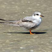Black-fronted tern. Immature. Manawatu River estuary, March 2010. Image © Alex Scott by Alex Scott