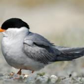 Black-fronted tern. Breeding plumage. Ohau River delta,  Mackenzie Country, November 2006. Image © Craig McKenzie by Craig McKenzie
