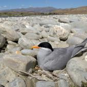 Black-fronted tern. On nest. Clutha River, Bendigo, November 2009. Image © Craig McKenzie by Craig McKenzie