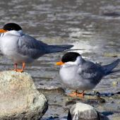 Black-fronted tern. 2 Adults. Nelson Haven, August 2011. Image © Rebecca Bowater FPSNZ by Rebecca Bowater  FPSNZ Courtesy of Rebecca Bowaterwww.floraandfauna.co.nz