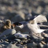 Black-fronted tern. Adultpresenting skink to chick. Mataura River, Southland, January 2012. Image © Glenda Rees by Glenda Rees http://www.flickr.com/photos/nzsamphotofanatic/