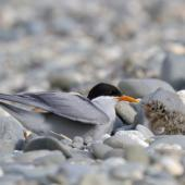 Black-fronted tern. Adult with chicks. Mataura River, Southland, January 2012. Image © Glenda Rees by Glenda Rees http://www.flickr.com/photos/nzsamphotofanatic/