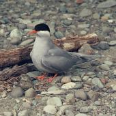 Black-fronted tern. Adult at nest with 2 eggs. . Image © Department of Conservation (image ref: 10031040) by Barry Harcourt Courtesy of Department of Conservation