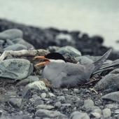 Black-fronted tern. Adult on nest. Cass River, McKenzie basin, November 1982. Image © Department of Conservation (image ref: 10045106) by Rod Morris Courtesy of Department of Conservation