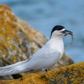 White-fronted tern. Adult with common smelt. Riverton, Aparima River mouth, August 2017. Image © Anja Köhler by Anja Köhler