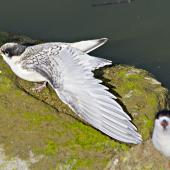 White-fronted tern. Juvenile stretching its wing. Tauranga, December 2010. Image © Raewyn Adams by Raewyn Adams