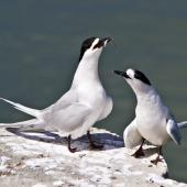 White-fronted tern. Courting pair. Tauranga, January 2011. Image © Raewyn Adams by Raewyn Adams