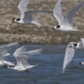 White-fronted tern. Non-breeding adult flock in flight. Ashley estuary,  Canterbury, May 2014. Image © Steve Attwood by Steve Attwood http://www.flickr.com/photos/stevex2/