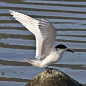 White-fronted tern. Adult ready to takeoff. Boulder Bank,  Nelson, July 2015. Image © Rebecca Bowater by Rebecca Bowater FPSNZ AFIAP www.floraandfauna.co.nz