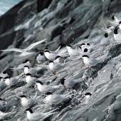 White-fronted tern. Roosting flock. The Pyramid, Chatham Islands, September 1974. Image © Department of Conservation by Christopher Robertson Courtesy of Department of Conservation