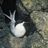 White-fronted tern. Adult on nest. Rangatira Island, Chatham Islands, November 1975. Image © Department of Conservation by Rod Morris Courtesy of Department of Conservation