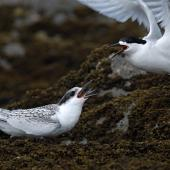 White-fronted tern. Juvenile being fed by adult. Catlins, February 2011. Image © Craig McKenzie by Craig McKenzie