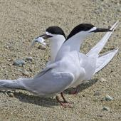 White-fronted tern. Adults feeding each other in courtship. Boulder Bank,  Nelson, November 2016. Image © Rebecca Bowater by Rebecca Bowater FPSNZ AFIAP www.floraandfauna.co.nz