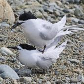 White-fronted tern. Pair mating. Boulder Bank,  Nelson, November 2016. Image © Rebecca Bowater by Rebecca Bowater FPSNZ AFIAP www.floraandfauna.co.nz
