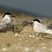 White-fronted tern. Adult feeding fish to chick. Kaipara Harbour. Image © Eugene Polkan by Eugene Polkan