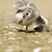 White-fronted tern. Chick. Kaipara Harbour. Image © Eugene Polkan by Eugene Polkan