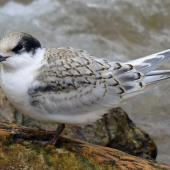 White-fronted tern. Buff-coloured juvenile. Aramoana Mole,  Dunedin, March 2015. Image © Jason Wilder by Jason Wilder