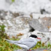 Antarctic tern. Adult. Enderby Island, January 2010. Image © John Woods by John Woods