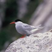Antarctic tern. Adult in breeding plumage. Mollymawk Bay, Snares Islands, February 1986. Image © Alan Tennyson by Alan Tennyson Alan Tennyson