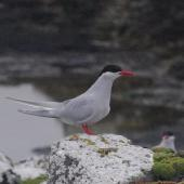Antarctic tern. Breeding adult. Enderby Island,  Auckland Islands, January 2018. Image © Colin Miskelly by Colin Miskelly