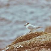 Antarctic tern. Immature. The Snares, March 1986. Image © Alan Tennyson by Alan Tennyson